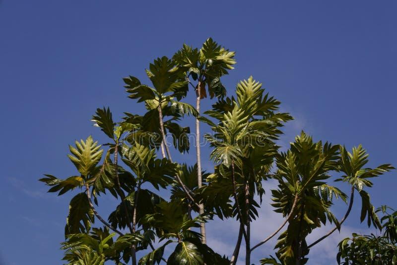 与天空蔚蓝的面包果树 免版税库存图片
