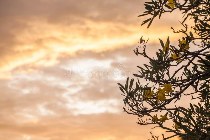 与天空,日落的黄蔓花 免版税库存照片
