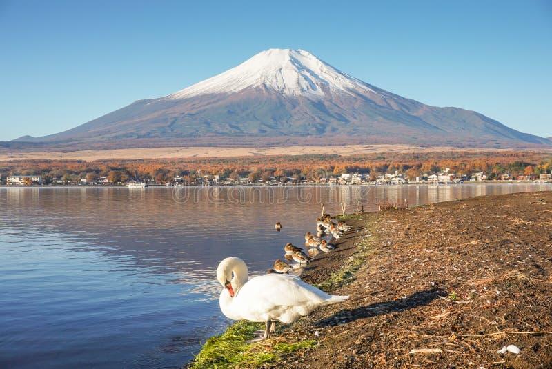 与天鹅的富士山在山中湖 免版税库存照片