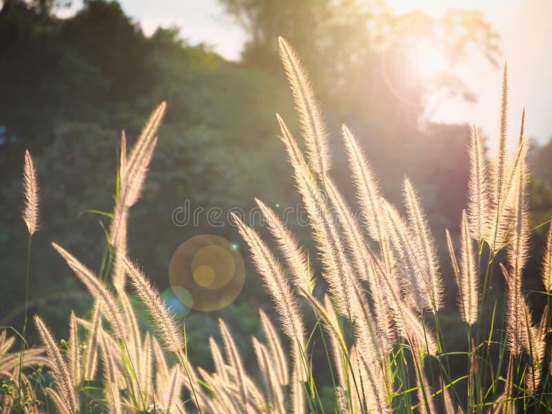 与太阳光的自然草 免版税库存图片