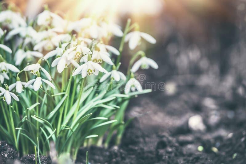 与太阳光芒的Snowdrops花,室外 免版税图库摄影