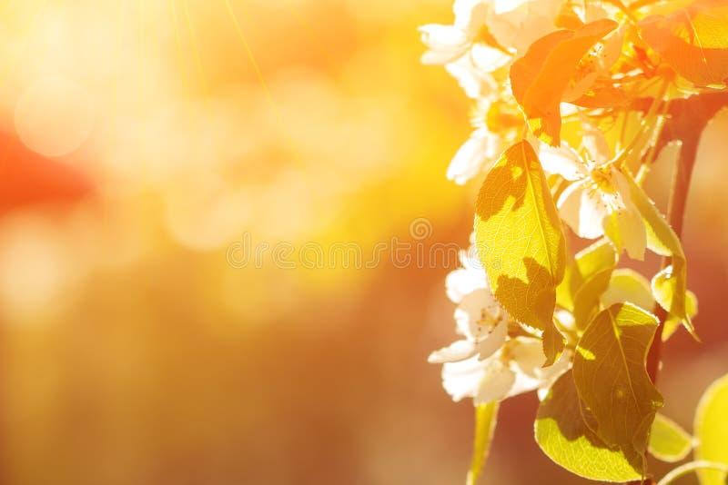 与太阳的美好的苹果树分支 E 免版税库存照片