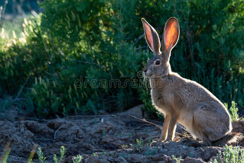 与太阳的长耳大野兔在它` s后面 免版税图库摄影