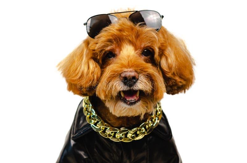与太阳镜的一条可爱的微笑的棕色玩具狮子狗狗在他的头、金黄项链和选矿与皮夹克旅行的 免版税图库摄影