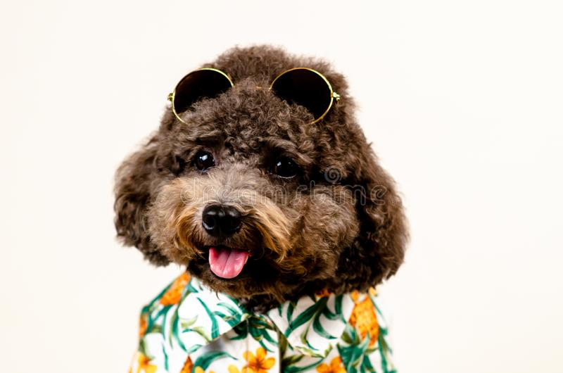 与太阳镜的一条可爱的微笑的黑玩具狮子狗狗在头和夏威夷礼服夏季的在白色背景 免版税库存图片