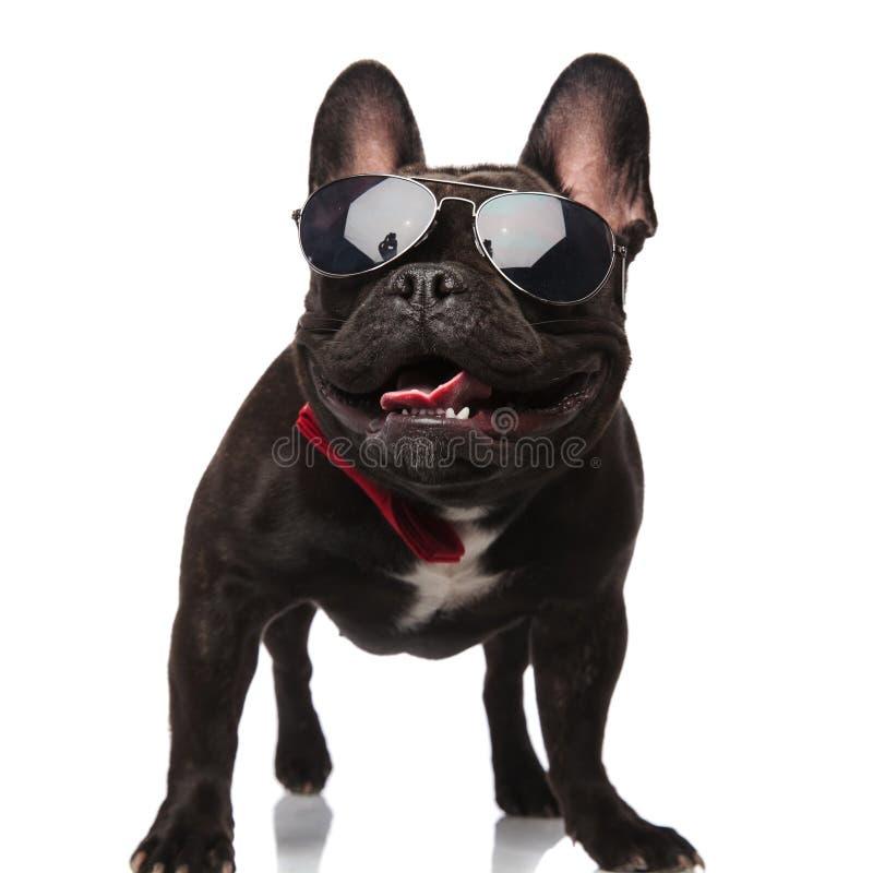 与太阳镜的查寻优等的法国牛头犬气喘和 免版税库存照片