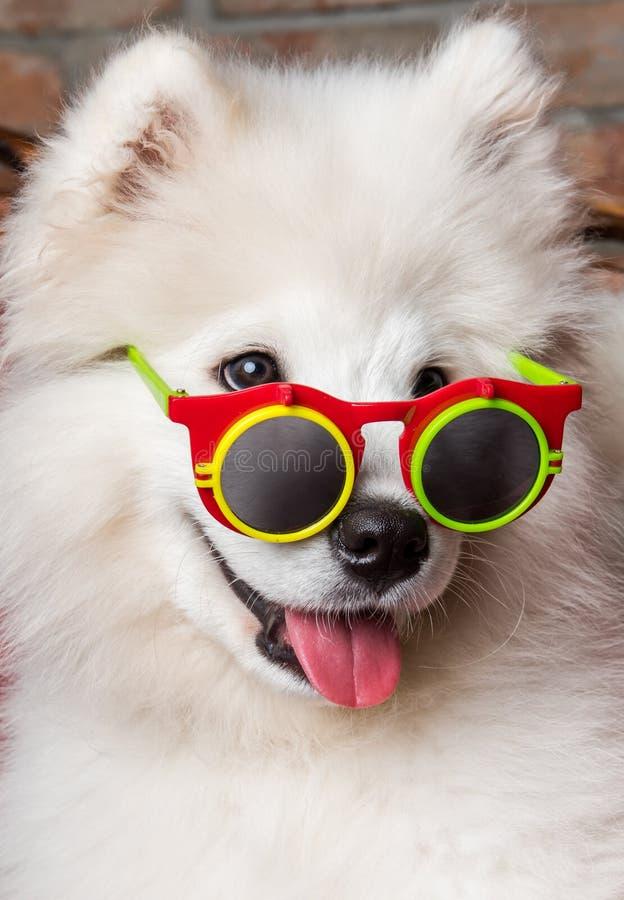 与太阳镜的滑稽的白色萨莫耶特人狗小狗 免版税库存照片