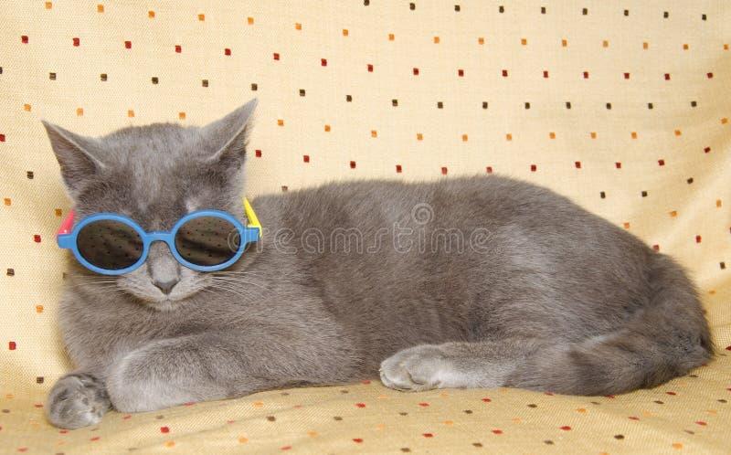 与太阳镜的滑稽的灰色英国猫 库存图片