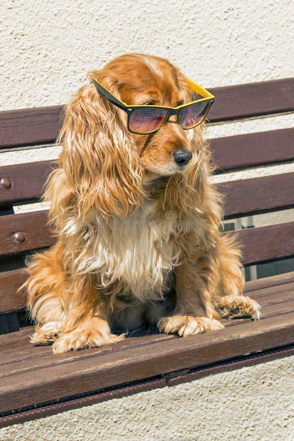 与太阳镜的Coker西班牙猎狗 库存照片