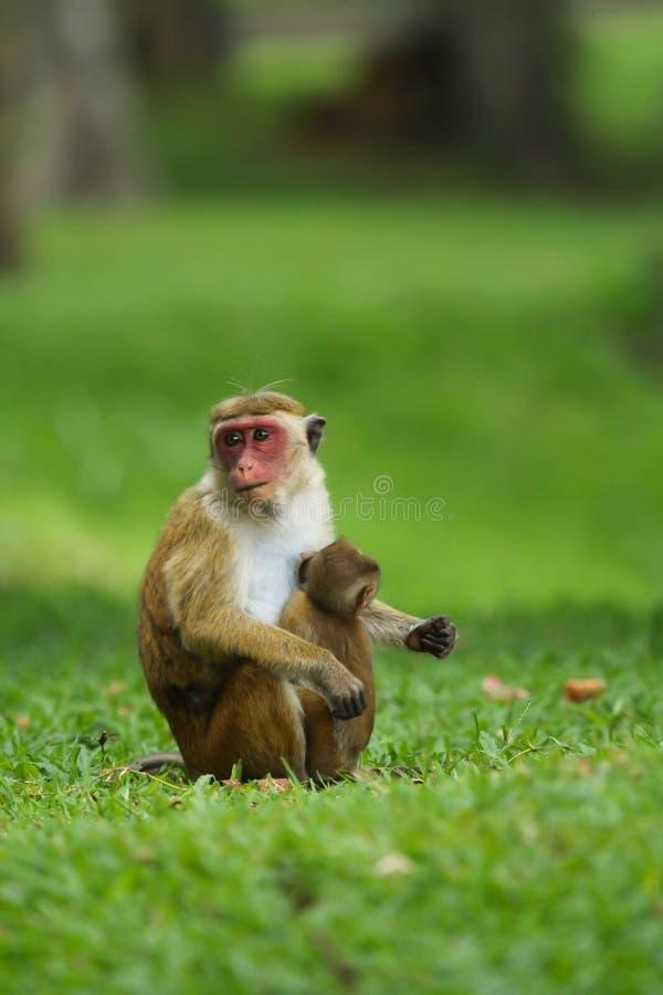 与她小的猴子的猴子 免版税图库摄影