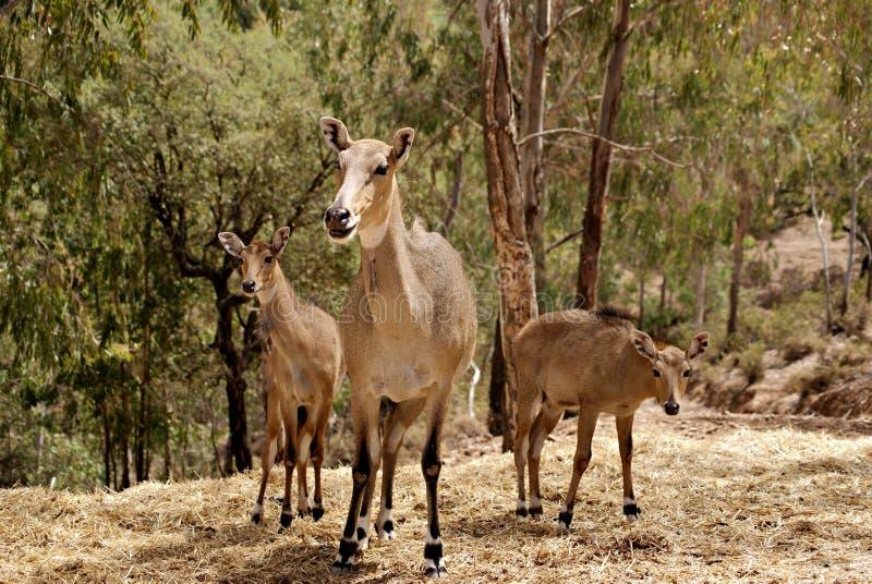 与她的两个小年轻人的母大羚羊 库存照片