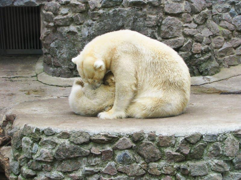 与她的婴孩熊的一只成人白熊 库存图片
