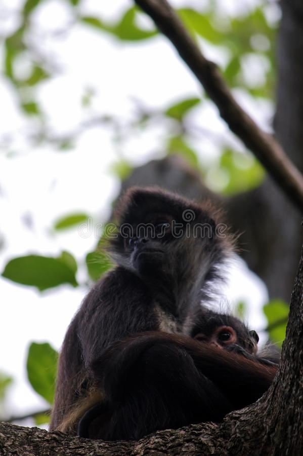 与她的婴孩的母亲猴子 库存图片