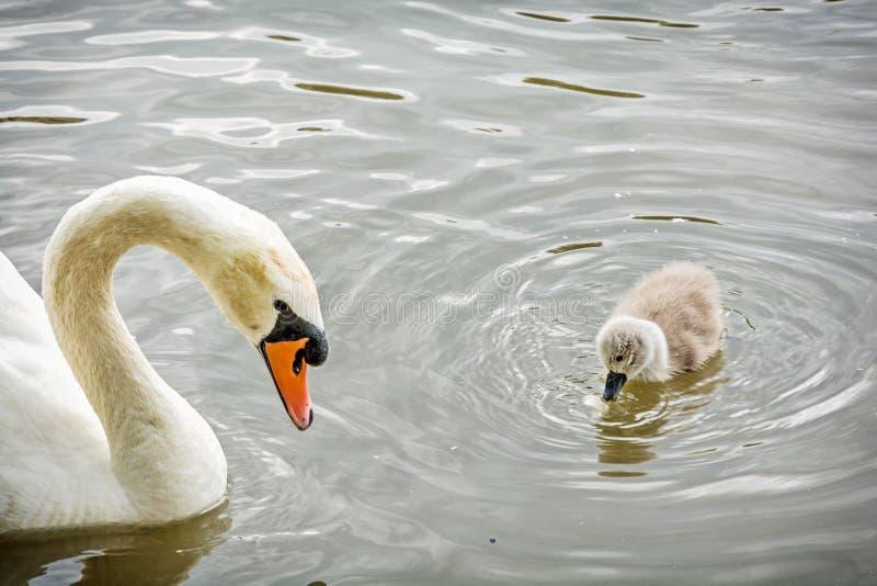 与她的年轻人的白色母亲天鹅游泳 免版税库存照片
