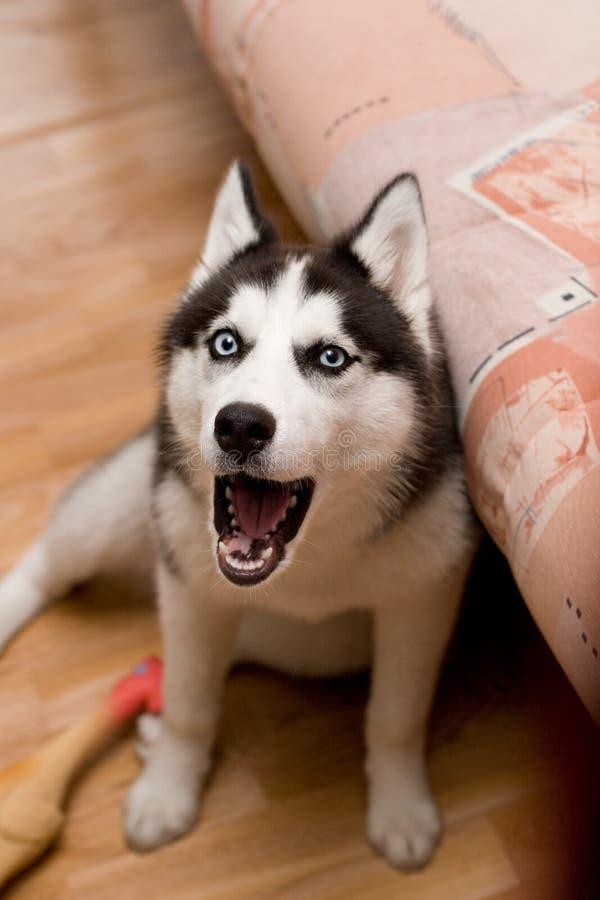 与她的玩具的咆哮的狗 库存照片