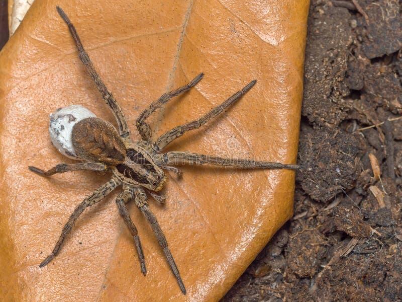 与她的蛋大袋的蜘蛛 免版税库存图片