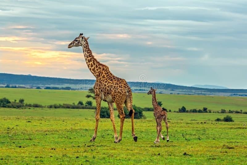 与她的婴孩的一头母亲长颈鹿 免版税库存照片