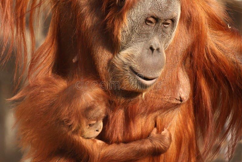 与她逗人喜爱的婴孩的母亲猩猩 免版税库存图片