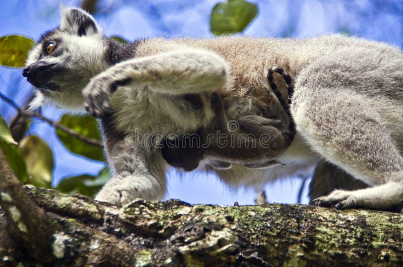与她逗人喜爱的婴孩的环纹尾的狐猴 免版税库存图片
