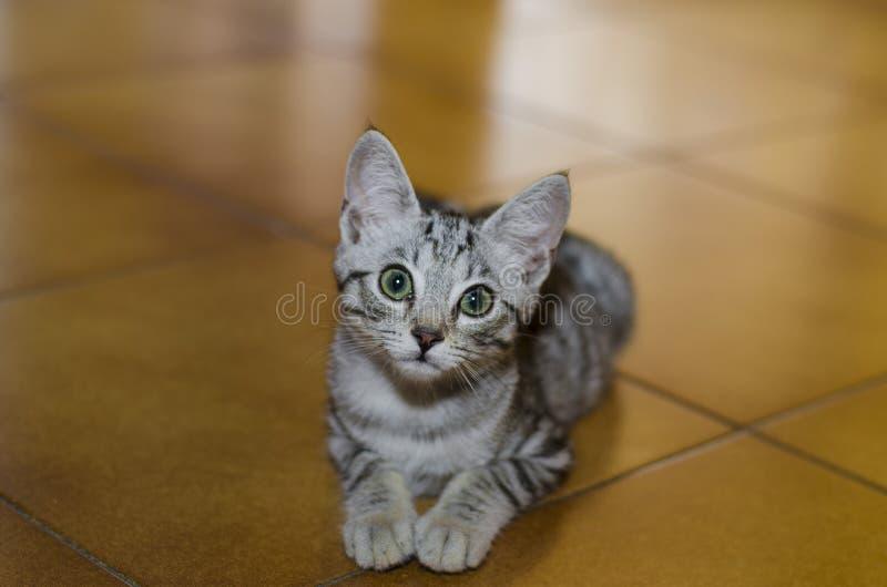 与好奇神色的小嫩猫在地板上蹲下了 免版税库存图片