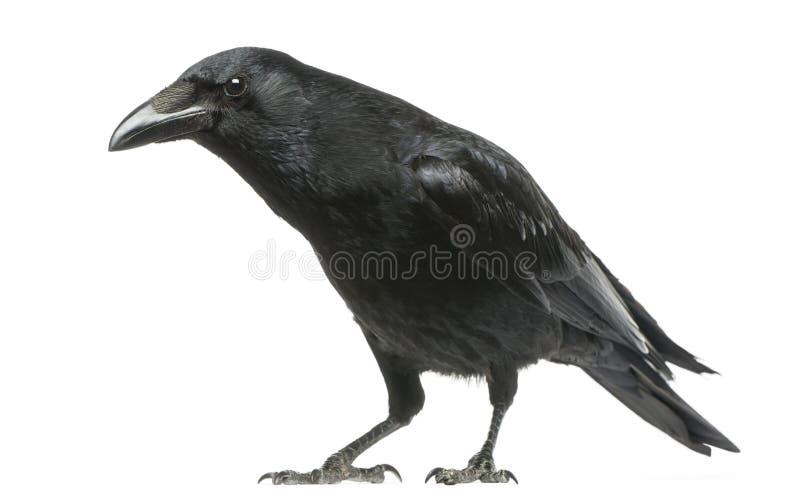 与好奇神色,乌鸦座corone的吃腐肉的乌鸦,被隔绝 免版税库存图片