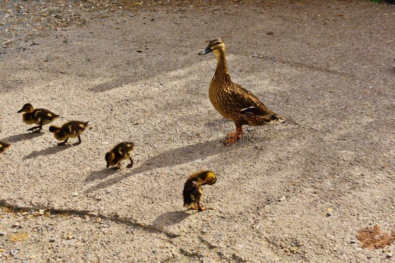 与妈咪的小鸭子 免版税库存图片
