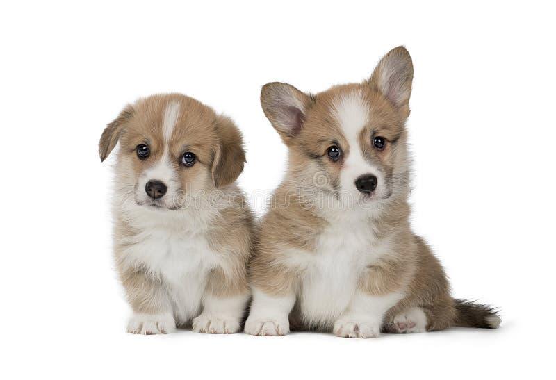 与妈妈的滑稽的威尔士小狗彭布罗克角小狗 免版税库存图片