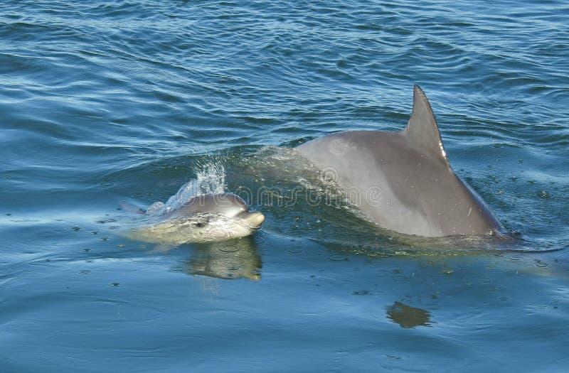 与婴孩的海豚 库存图片