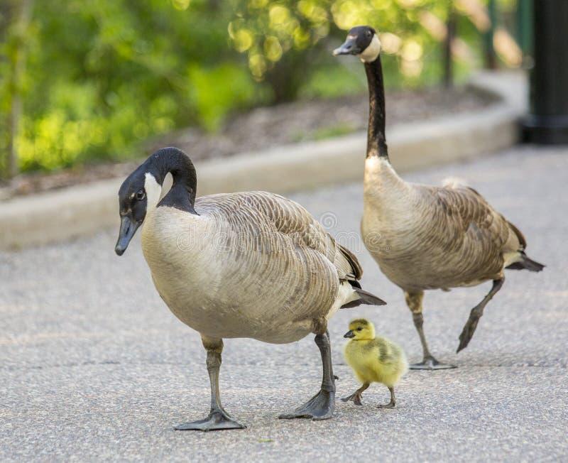与婴孩的鹅家庭 库存照片