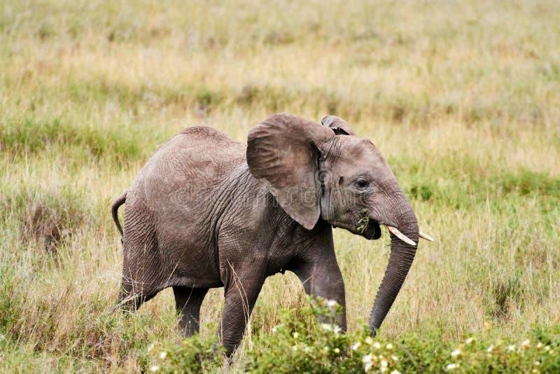 与婴孩饮用水的大象在坦桑尼亚徒步旅行队象牙 免版税库存照片