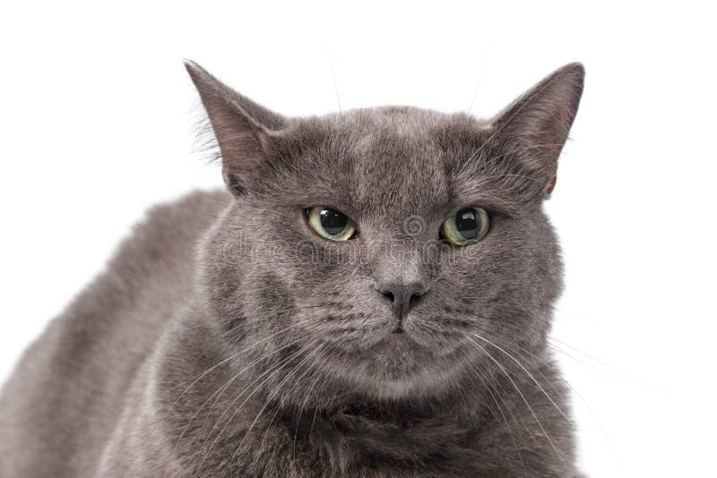 与嫉妒的幼小成人英国shorthair猫 免版税图库摄影