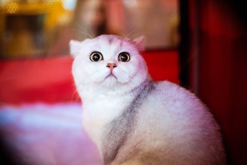 与嫉妒的滑稽的白色猫 图库摄影