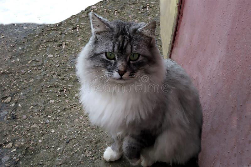 与嫉妒的灰色蓬松猫在街道冬天雪 免版税库存图片