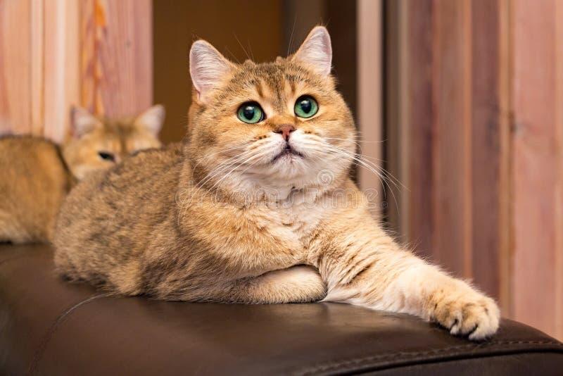与嫉妒的猫,与深富有的嫉妒的可爱的英国金猫 库存照片
