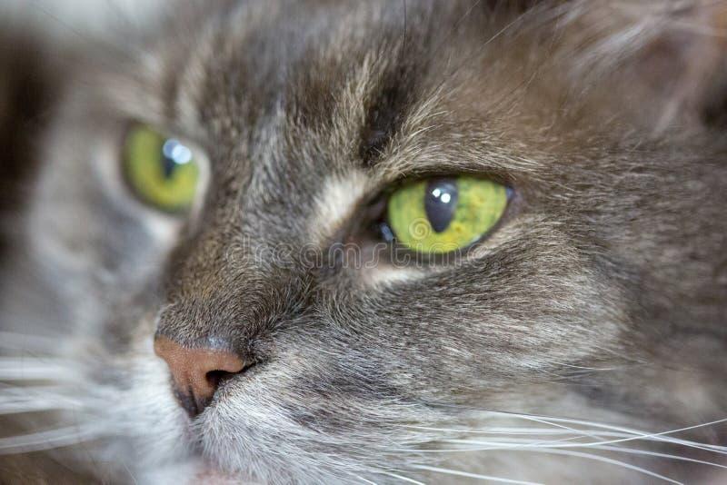 与嫉妒的老灰色猫在宏指令 免版税图库摄影