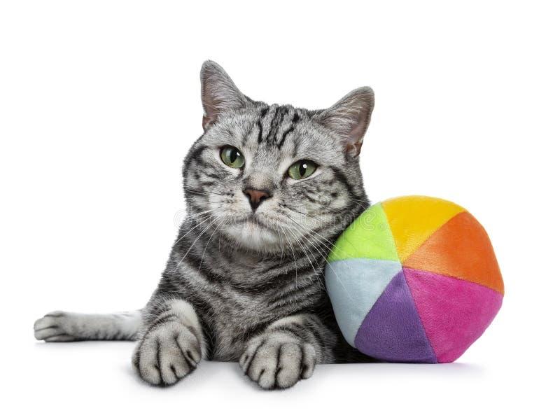与嫉妒的英俊的黑平纹英国Shorthair猫放下与从看透镜的sorft材料的五颜六色的玩具球的 免版税库存图片
