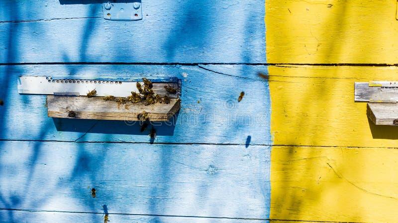 与子宫,得到蜂蜜的家养的蜂群的蜂蜂房从蜂窝 图库摄影