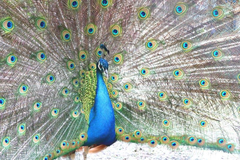与孔雀的美丽的印地安孔雀在孔雀` s尾巴用羽毛装饰 免版税库存照片