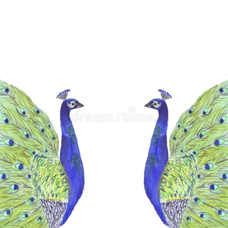 与孔雀鸟的水彩热带构成框架 向量例证