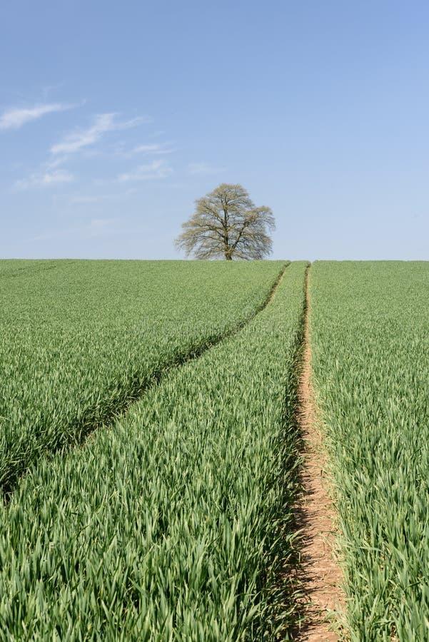 与孤立树的绿色麦田 免版税库存照片