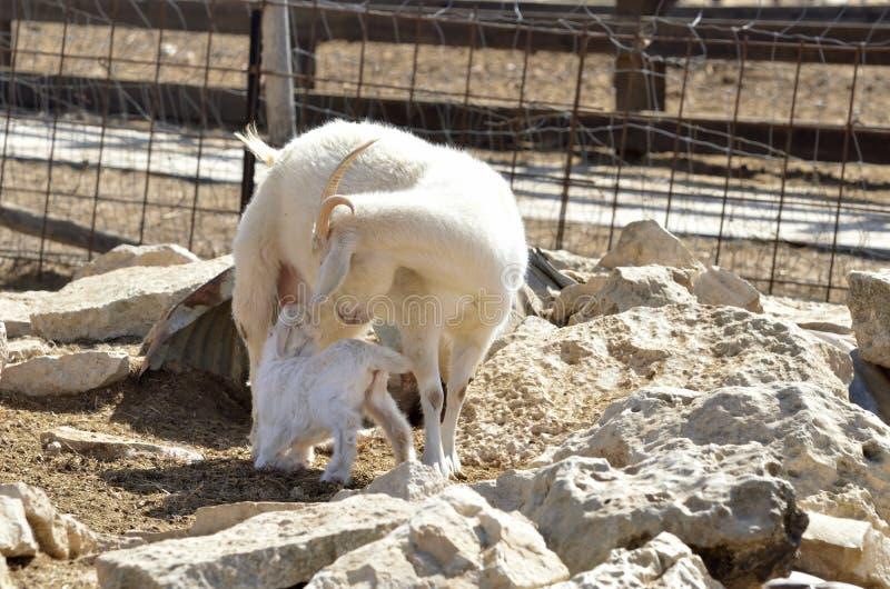 与孩子的安哥拉猫山羊 免版税库存图片