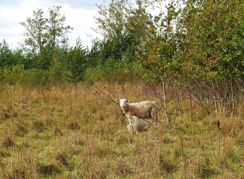 与孩子的绵羊在草甸,立陶宛 库存图片
