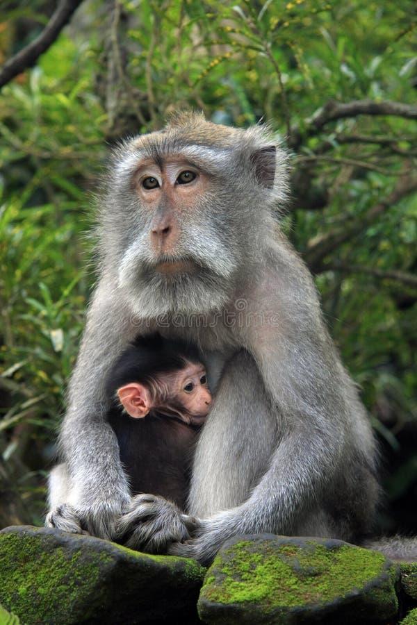 与孩子的巴厘语猴子 免版税库存图片