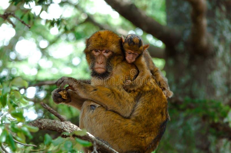 与它的小狗的巴贝里猿 免版税库存图片