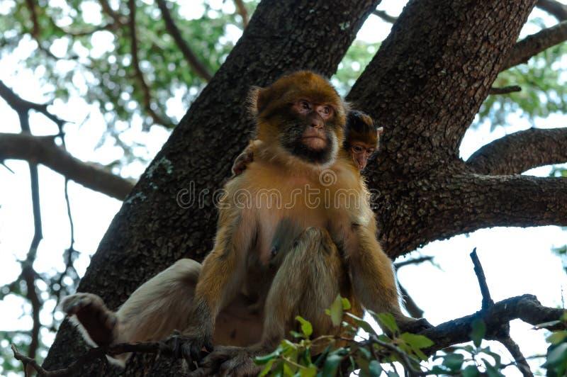 与它的小狗的巴贝里猿 库存图片