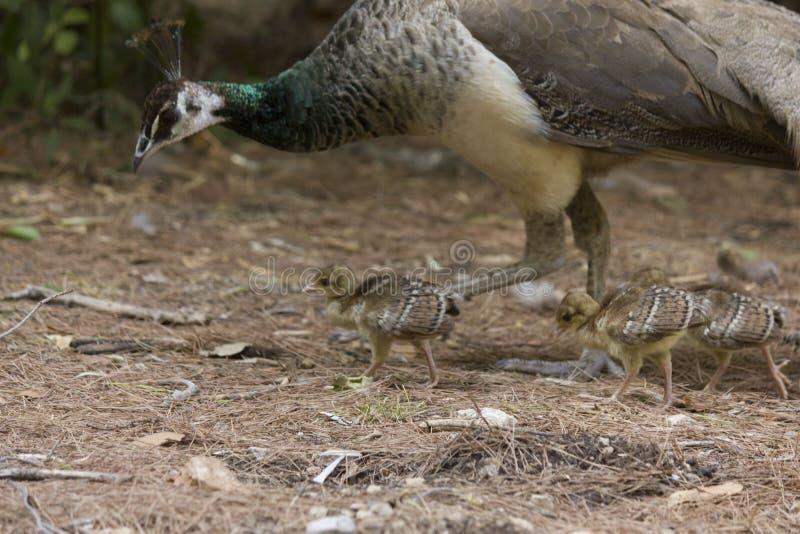 与它的小鸡的母亲孔雀 库存照片