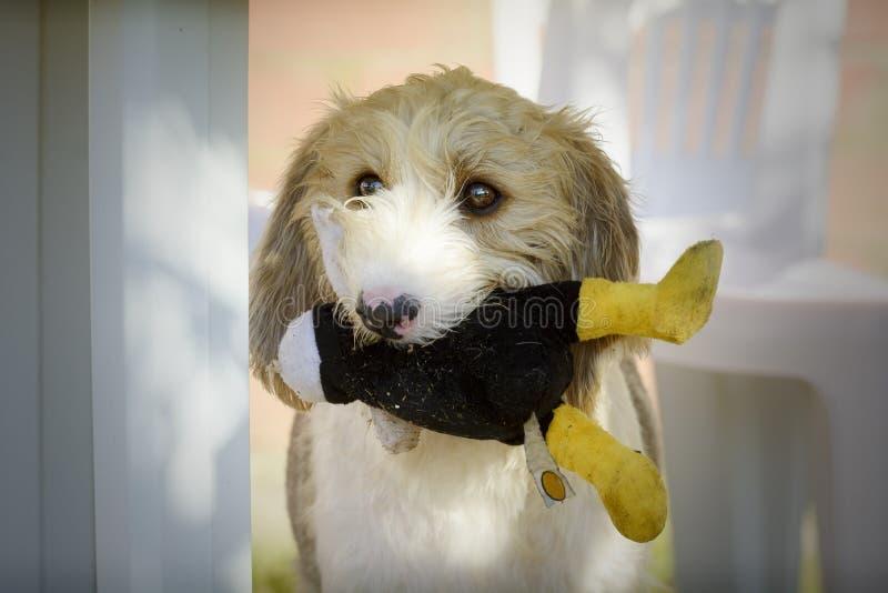 与它的玩具的格里丰狗在它的嘴 免版税库存照片