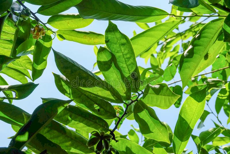 与它的绿色叶子的香水,从底部的一个看法 图库摄影
