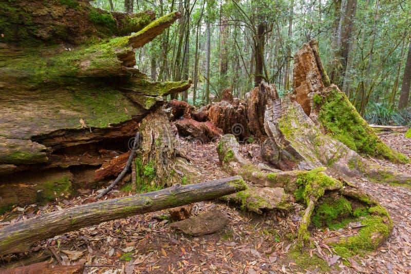 与它的被盖的树桩和吠声的巨大的死的空心老树干 免版税库存图片