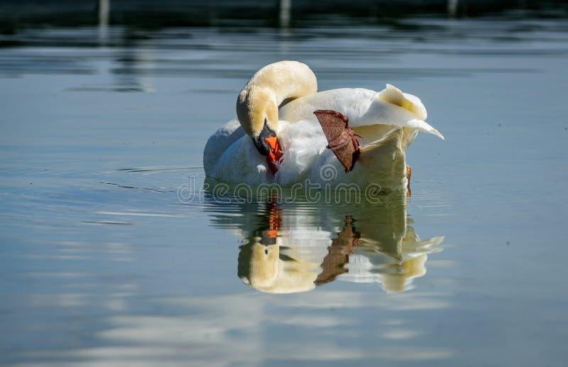 与它的镜子immage的唯一天鹅在博登湖 库存照片